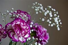 Carnation (pedro vit) Tags: flower flowers carnation pink flora floral nature beautiful