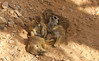 Meerkats (ARGreen93) Tags: meerkat sun basking sunbathing animals zoo al ain abu dhabi uae cute