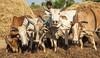 Kawardha - Chhattisgarh - India (wietsej) Tags: kawardha chhattisgarh india sony a100 tamron 1750 farming cows