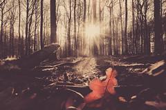 Der Sonne entgegen (Sascha Wolf) Tags: wald uww gegenlicht schönbuch perspektive blatt tamron sepia