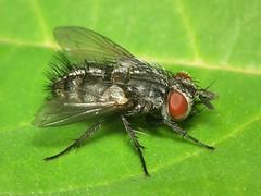 Phryxe vulgaris (ruiamandrade) Tags: phryxe vulgaris tachinidae diptera fly mosca insectos insects nature natureza