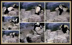 Bei wants mom's attention (heights.18145) Tags: smithsoniansnationalzoo beibei meixiang corner panda bear pandabear cuteanimals bearcubs motheranimals ccncby