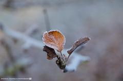 First signs of winter. (andreasheinrich) Tags: nature leaf tree winter december morning cold frozen germany badenwürttemberg neckarsulm dahenfeld deutschland natur blatt baum dezember morgen kalt gefroren nikond7000