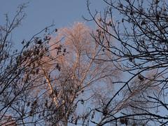 Tree in first light (Teelicht) Tags: braunschweig deutschland germany lowersaxony niedersachsen raureif schunterniederung schuntertal sonnenaufgang volkmarode hoarfrost