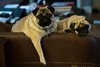 DSCF1075.jpg (zane.hollingsworth) Tags: pugs 84mm35eqv iso1600 belle 1100ss f2 mila 56mm pug