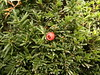 2016-10-25-7391 (vale 83) Tags: taxus baccata european yew nokia n8 macrodreams friends beautifulexpression flickrcolour autofocus
