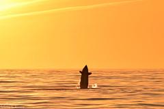 Distant Breach (cetuselena) Tags: blackfish ocean orca oceanlife montereybay monterey california cetacean whalewatching wildlife whale wildandfree wildanimal killerwhale dolphinwatching nature animal thanksbutnotanks sea sunset marinemammal marinelife mammal dolphin pacificgrove mosslanding