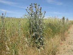 Onopordum illyricum plant4 CWS (Macleay Grass Man) Tags: asteraceae onopordum illyricum taxonomy:binomial=onopordumillyricum illyrian thistle