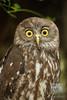 Surprise!   A Barking Owl. (David de Groot) Tags: barkingowl bird birdofprey featherdalewildlifepark ninoxconnivens doonside newsouthwales australia au