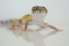 Aries (Treasure Hunt 01) (S_Freer) Tags: sfreer 273652017 leopardgecko aries reptile 2017th01 januarytreasurehunt