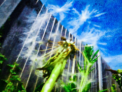 Finding Fairies (Steve Taylor (Photography)) Tags: art digital fence garden blue green white looking up dutchangle closeup wooden uk gb england greatbritain unitedkingdom plant weeds dandelion seed outoffocus oof texture sky