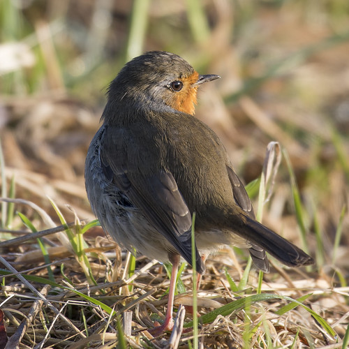 (003) Bird - Robin - Beside The Waveney At Castle Marshes