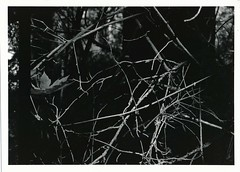 Behind the Curtain (naterood) Tags: black white blackwhite sticks forest trees film developed