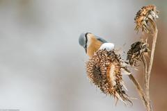 Mangeoire naturelle (Cyril Htz) Tags: alsace aves birds eurasiannuthatch faune france freland hautrhin oiseaux passériformes sittaeuropaea sittelletorchepot sittidae sittidés