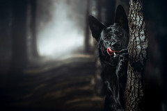 Come to the light (DigitalBite) Tags: dog dogphotography animal pet petphotography k9 hunde black forest dark darkness gsd blackgsd germanshepherddog