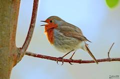 Singing to the tree - Cantando para a árvore (Yako36) Tags: portugal caldasdarainha jardim garden bird birdwatching nature natureza tc14e nikonafs300f4 nikond7000