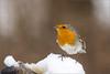 DSC_9453a (Viktor Honti) Tags: nikon d7100 sigma 70200 tc 2x wildlife nature bird feeder hide erithacus rubecula
