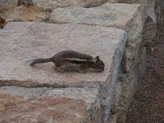 Golden-mantled Ground Squirrel (Phil Spell) Tags: olympus outdoor nature colorado mountains rockymountains nationalpark rockymountainnationalpark unitedstates usa northamerica wildlife animal mammal squirrel goldenmantledgroundsquirrel