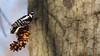 Male Downy Woodpecker (mausgabe) Tags: olympus em1 olympusm40150mmf28 olympusmc14 nyc centralpark theramble bird woodpecker male downywoodpecker