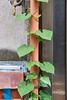 Green #2 (gullevek) Tags: building fujixt1 fujifilm fujinonxf35mmf2rwr japan otaku plants tokyo tokyoto wall window yaguchi 壁 大田区 建物 日本 東京 東京都 矢口 窓 草木 ōtaku tōkyōto green 色 緑 colors leaf 葉