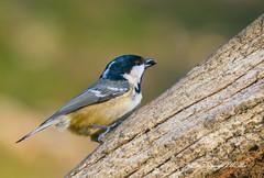 Coal tit. (nondesigner59) Tags: periparusater coaltit bird cbnr closeup nature wildlife archives copyrightmmee eos7dmkii nondesigner nd59