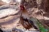 0106 IMG_3530 (JRmanNn) Tags: bonniespringsranch rostcock roosterpeacock nature lasvegas