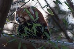 Red Panda (Gjesdal.org (away on vacation)) Tags: dyreparkenikristiansand rødpanda nikon dyrepark redpanda zoo d810 sigma150500mmf563apodgoshsm ailurusfulgens kristiansand vestagder norway no