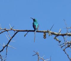 Malachite Sunbird (tapaculo99) Tags: birds aves africa southafrica sunbird malachitesunbird nectariniafamosa