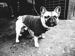 get lost (matthias hämmerly) Tags: dog street candid streetphotography langstrasse zuerich zürich switzerland grain black white contrast dark bulldog french