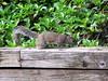 squirrel (✿ Graça Vargas ✿) Tags: esquilo graçavargas ©2017graçavargasallrightsreserved squirrel orlando usa 8903200217