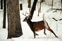 Dashing Through the Snow (Goromo) Tags: whitetaildeer deer buck snow running winter woods trees