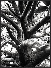 Tentacules (isabeau bugelle) Tags: montpellier peyrou arbre monochrome tronc tentacule branche tordu nature noiretblanc