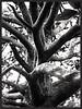 Tentacules (isabelle bugeaud) Tags: montpellier peyrou arbre monochrome tronc tentacule branche tordu nature noiretblanc