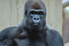 black power (picturesbywalther) Tags: black power schwarz gorilla affe monkey zoo basel tiere animals nikon gesicht face