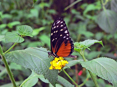 Heliconius Hecale (1023598) (Le Photiste) Tags: clay heliconiushecale tigerlongwing hecalelongwing goldenlongwing goldenheliconian butterfly papillons schmetterlinge afeastformyeyes aphotographersview autofocus artisticimpressions blinkagain beautifulcapture bestpeople'schoice creativeimpuls cazadoresdeimágenes digifotopro damncoolphotographers digitalcreations django'smaster friendsforever finegold fairplay greatphotographers giveme5 hairygitselite ineffable infinitexposure iqimagequality interesting inmyeyes iloveit livingwithmultiplesclerosisms lovelyflickr lovelyshot myfriendspictures mastersofcreativephotography magicmomentsinyourlife momentsinyourlife ngc nature naturesprime rainbowofnaturelevel1red planetearthnature soe panasonic simplysuperb saariysqualitypictures showcaseimages simplythebest simplybecause thebestshot thepitstopshop thelooklevel1red theredgroup universal vividstriking vigilantphotographersunitelevel1 wow worldofdetails wildlife yourbestoftoday panasonicdmcfz4