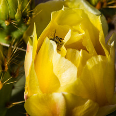 Cactus Bloom With Bee-2279 (Fortuitous Light) Tags: macro cactus bloom bee yellow flower flickrsfantasticflowers nature