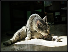 Yoga !! (MaPeV) Tags: morris bellolindoguapetón gatos cats chats kawaii felin neko gatti gattini gattoni tabby chat katze gato kitty tabbyspoted powershot canon g16 yoga trainer