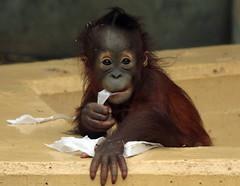orangutan Sabbar Ouwehands BB2A2832 (j.a.kok) Tags: orangutan orangoetan orang mammal zoogdier ape aap monkey mensaap primaat primate borneo sumatra asia azie ouwehands ouwehandsdierenpark sabbar