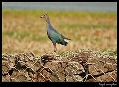 Purple Swapmhen (Mitesh S) Tags: india birds canon rebel purple swamp moor hen pashan pune xsi 450d 55250mm