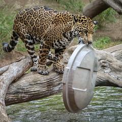 Got It! (Penny Hyde) Tags: bigcat jaguar sandiegozoo shared flickrbigcats