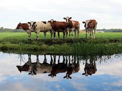 (bogers) Tags: cow cows denhaag bogers bkk koe koeien leidschendam 20150829