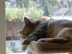 Mid-Day Nap No 7 (kristidotnelson) Tags: sleeping sun cat lavender dirtywindow cattree