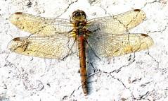 Common Darter (wightbern) Tags: nature nikon dragonflies wildlife isleofwight nationaltrust commondarter westhighdown d7100 nikonnaturephotography sympertrumstriolatum