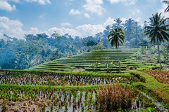 Rice Fields, Bali. (Colum O'Dwyer) Tags: bali clouds indonesia fire travels holidays rice smoke adventure fields cloudscape colum colcum columodwyer