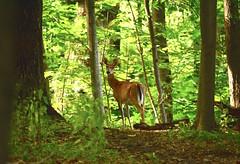 Looking back--summer (Sarah Hina) Tags: summer animal forest woods outdoor doe deer ohiouniversity athensohio theridges