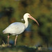 White Ibis with Earthworm