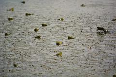 Frogs lagoon (carlossahliehm) Tags: frogs anura matingseason water rain wildlife animalia species