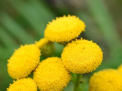 Yellow wild flowers (tmo222) Tags: yellow catchy tansy