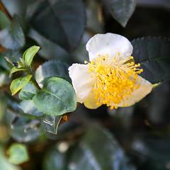 Tea flowers (shinichiro*@OSAKA) Tags: autumn japan tokyo october tea crazyshin  2015  japanesetea   sd1m sigmasd1merrill sigma18300mmf3563dcmacrooshsm  20151009sdim2992