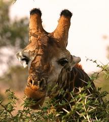Giraffe, South Africa © Henko + Sveta Austin / Dreamstime